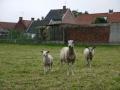 Ahh cute litlle sheep